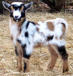 Nigerian Dwarf goat baby.    What fun markings!  I would want to keep this one in my herd!