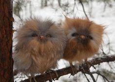 Un couple de bébés chouettes (espèce non identifiée)