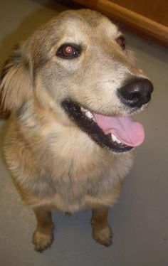 Burt German Shepherd Dog Mix Collie Adult Male Large Ohio County Animal Shelter Hartford Ky
