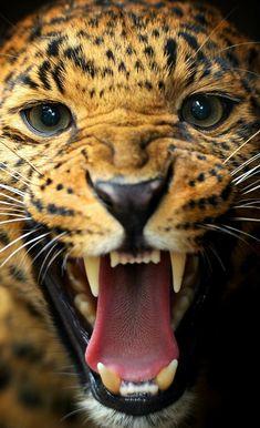 (Iphone plus). Jaguar Wallpaper, Leopard Wallpaper, Animal Close Up, Desenhos Harry Potter, Pink Panthers, Big Cats, Mustache, Black Backgrounds, Drawings