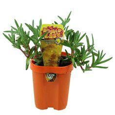 how to get vibrant succulent plants