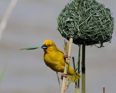 Amazing nest built by the weaver