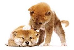 Shiba puppies