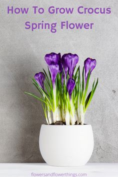 Learn how to grow crocus spring flower bulbs both in pots as well as in gardens. Whether you want to grow purple or yellow crocuses or saffrons you can do it easily. Spring Flowering Bulbs, Spring Bulbs, Yellow Crocus, Saffron Crocus, Crocus Bulbs, Bulb Flowers, Spring Flowers, Indoor Plants, Perennials