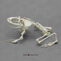 Articulated Goliath Frog Skeleton