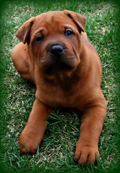 """Our newest addition """"Molly"""" Chinese Shar-Pei Rotweiller Mix. She's big like her daddy and gorgeous like her momma! Shar Pei Mix, Shar Pei Puppies, Baby Puppies, Cute Puppies, Cute Dogs, Dogs And Puppies, Sharpei Dog, Labradoodle, Corgi Mix"""