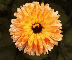 Vyrábíme měsíčkový olej | DIFY blog Plants, Blog, Flora, Blogging, Plant, Planting