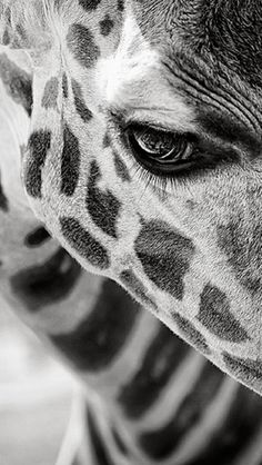 giraffe http://thewildanimalstore.com/category_jungle_animals/JUN_J0002_Giraffe.htm