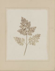 Leaf of a Plant  William Henry Fox Talbot  (English, 1800–1877)    Date:      before February 14, 1844  Medium:      Salted paper print from paper negative