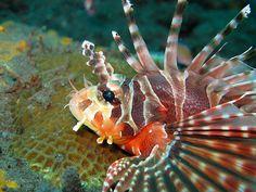 Zebra Lionfish (Dendrochirus zebra) by mikel.hendriks, via Flickr