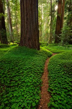 The Land of the Bigfoots by danielpivnick woods tree trunk clover three green path road