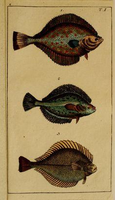 Flounder. Unterhaltungen aus der Naturgeschichte : Der Fische 1.[-2.] Theil. v.2 Augsburg :Engelbrecht,1799-1800. Biodiversitylibrary. Biodivlibrary. BHL. Biodiversity Heritage Library