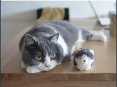 A dilute tuxedo cat with a sweet face and a Mommy and me toy.