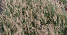 Pennisetum alopecuroides 'Hameln' (lampenpoetsersgras).  Groen siergras met rijke bloei (bruine pluimen).  Hoogte: 30 cm; bloehoogte: 50cm.  Bloei: augustus-oktober.  Standplaats: zon.  Onderhoud: zeer kort knippen in februari (niet volledig winterhard).