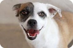 Kyle, TX - Cardigan Welsh Corgi/Chihuahua Mix. Meet PAULINE, a dog for adoption. http://www.adoptapet.com/pet/18341037-kyle-texas-cardigan-welsh-corgi-mix