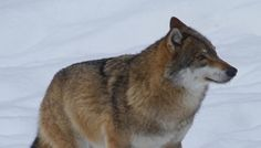 Rebuilding Eradicated Wolf Populations Comes With Serious Risks