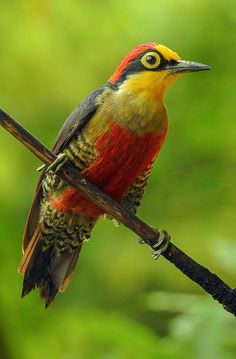 Melanerpes flavifrons --Yellow-fronted Woodpecker by Aisse Gaertner.