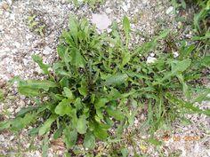Ραδίκια-Cichorium