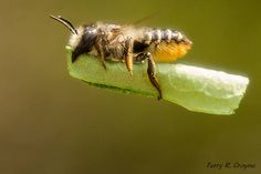 Leaf Cutter Bee Photo by Terry Crayne.   Home and Garden   hometown focus.us