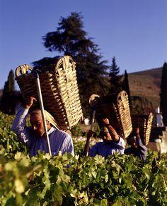 Cardanheiros, Harvest, Douro, Douro Valley, Portugal