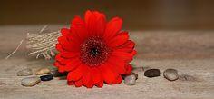 Gerbera, Flor, Vermelho, Flor Vermelha