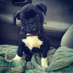 Bugg, puppy Boston terrier cross pug dog