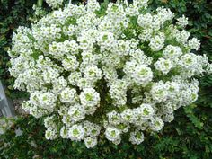 Flor de mel ou Alísio