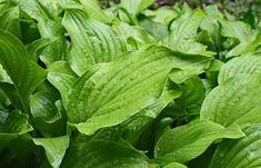 Backyard Drainage, Plantain Lily, Bushcraft Skills, Hosta Gardens, Edible Wild Plants, Wild Garlic, Wild Edibles, Nature Images, Garden Planning