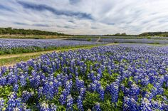 Why are Bluebonnets Blooming Across Texas in February?