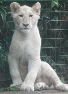young white lioness, half sister to previous white male lion