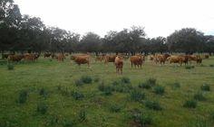 Encastar, mejorar una ganadería