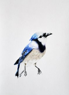 Blue Jay - Original colored pencil