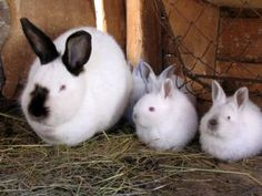 Californian rabbit breed - known as the second best breed for meat (NewZealand being the #1 meat breed)