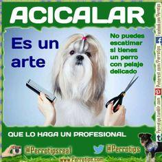 Si tienes un perro con pelaje especial no puedes ahorrar en peluquero. Le arruinarás el pelaje. #Perrotips