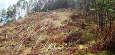 Honduras: Personas de escasos recursos dispondrán gratuitamente de madera afectada por el gorgojo  El país hay más de 953.000 hectáreas de bosque de pino afectados en las diferentes fases, por el gorgojo. Solo en el 2015, los incendios forestales afectaron cerca de 40,000 hectáreas, mientras que por la tala ilegal se afectó alrededor de 58,000 hectáreas de bosque, revela un informe del CONADEH.  http://www.radiohrn.hn/l/noticias/personas-de-escasos-recursos-dispondr%C3%A1n-gratuitame | Radio…
