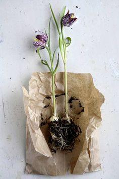 Fritillaria roots. | Image via: Tina Brok Hansen                                                        The Danish name is vibeeggs. Vibe is a bird.