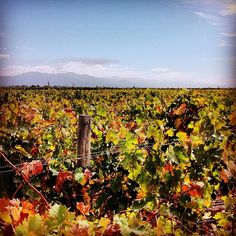 """Can't take enough photos of the vineyard colors!"" says Ben at Catena Zapata"