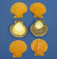 Use these for soap dishes or to hold rings, etc on your countertop. Beach Décor. Wholesale single orange Atlantic Lion's Paw shells