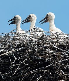 Three white stork chicks wait for food with wide-open beaks in their nest in Neu Luebbenau, Germany.