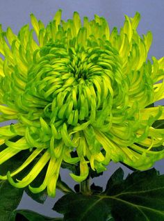 Chrysanthemum Green Shamrock: Demand has been high for this fancy green Chrysanthemum with delicate weeping flowers. Best grown indoors or at least away from rain when flowers open in November.