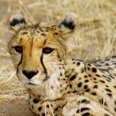 Cheetah at Cheetah Conservation Fund in Namibia
