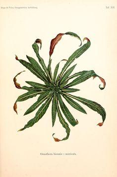 Gruppenweise artbildung unter spezieller berücksichtigung der gattung Oenothera,. Berlin,Gebrüder Borntraeger,1913.. biodiversitylibrary.org/page/1853835