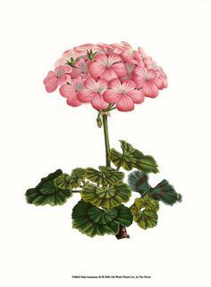 Geranium (Lady Beautiful)    hicatholicmom.blogspot.com