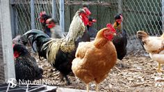 Dead Hens left in Cages next to Hens Laying Your Eggs. #animal cruelty #cage-free eggs #Cage-free hens #raising chickens