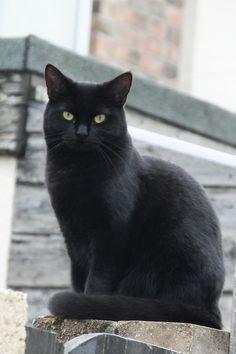 The Black Cat - so like Louie