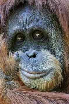 What's going on in that beautiful mind? Orangutan