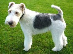 Wire Fox Terrier...someday I will own another. I miss my Piper. :(