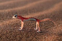 Rainbow Gecko More