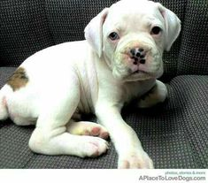 "Visit our web site for more details on ""boxer puppies"". It is a superb area to learn more. White Boxer Puppies, Boxer Dogs, Cute Puppies, Cute Dogs, Dogs And Puppies, White Boxers, Doggies, Bulldog Puppies, Baby Animals"