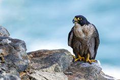 2018 év madara – a vándorsólyom Owl, Bird, Animals, Animales, Animaux, Owls, Animais, Birds, Animal
